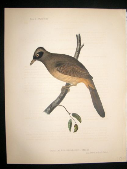 Japan Perry Expedition 1856 Antique Hand Col Bird Print. Masked Laughingthrush 4 | Albion Prints